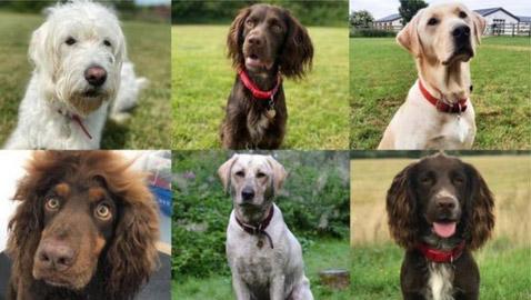 فيروس كورونا: تدريب كلاب لاكتشاف المصابين بالوباء